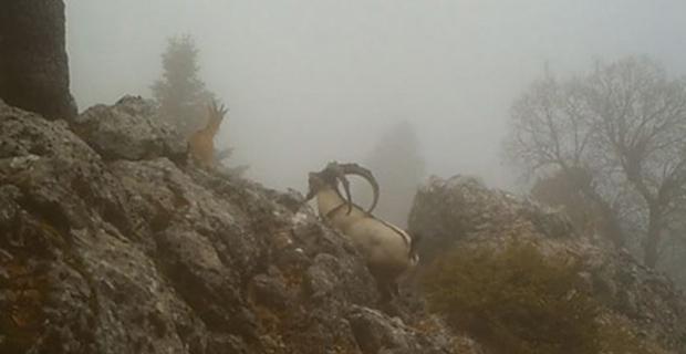 Yaban Keçilerinin görsel şöleni