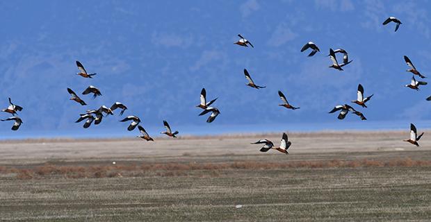 739 bin su kuşu sayıldı