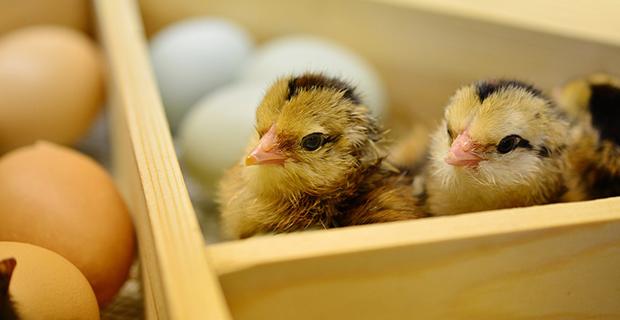 Kümes hayvancılığı üretimi yükseldi