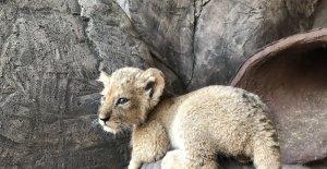 Aslan Park'ta 2 gün arayla 4 aslan ve 3 kaplan yavrusu dünyaya geldi