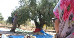 Gaziantep'te zeytin hasadı başladı