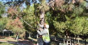 Toroslar'daki parklarda ağaçlar budandı